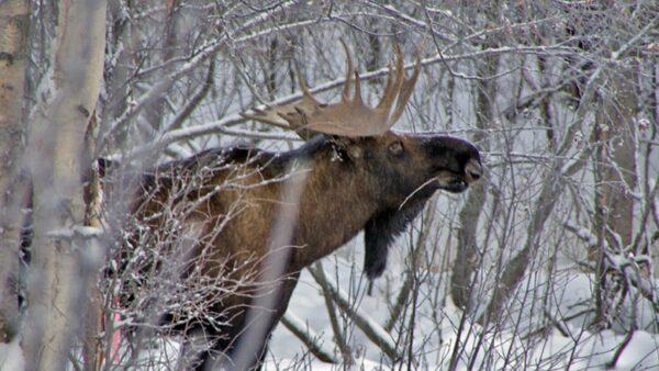 Четыре косули незаконно добыты браконьерами Курганской области
